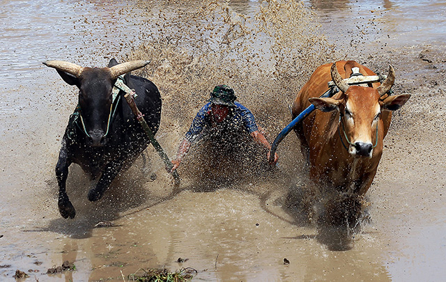 pacu jawi cow race in Indonesia